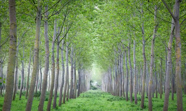 poplar_trees_georgia_600